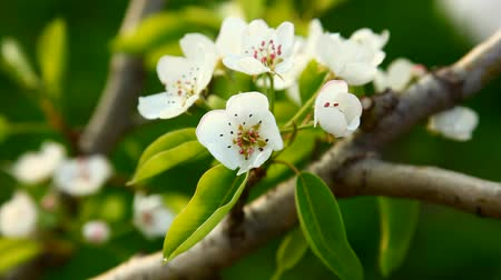 detalhes : Blooming pear tree flowers in wind