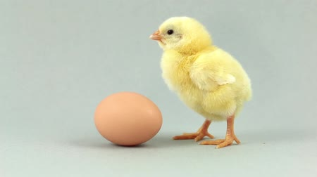 tavuk : Lonely newborn chicken near an egg, chirping