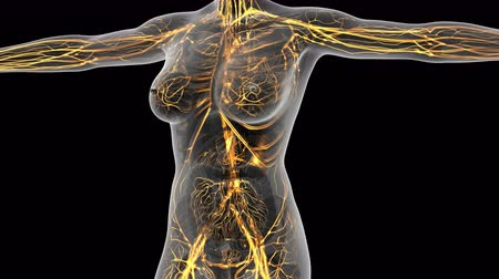 interno : science anatomy of human body in x-ray with glow blood vessels. alpha channel Vídeos