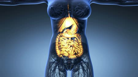 układ pokarmowy : science anatomy of woman body with glow digestive system