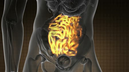 the inflammation : science anatomy scan of human small intestine glowing with yellow