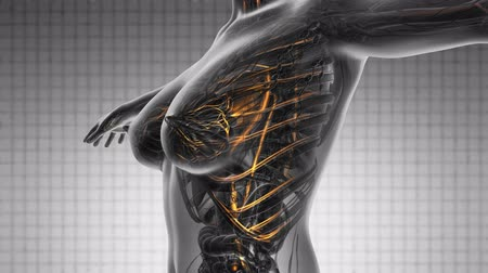 infarct : loop science anatomy scan of woman heart and blood vessels glowing