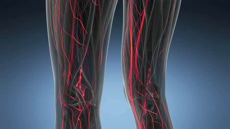 sirkülasyon : science anatomy scan of woman heart and blood vessels glowing Stok Video