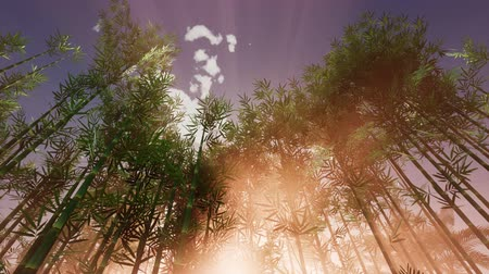 clima tropical : The suns rays make their way through the bamboo grove