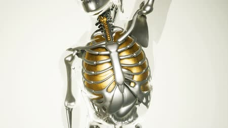 mar : human lungs model with all organs and bones