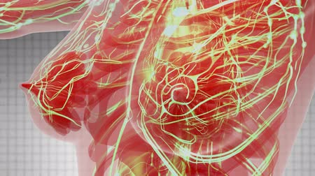 blood circulation : science anatomy scan of woman heart and blood vessels glowing Stock Footage