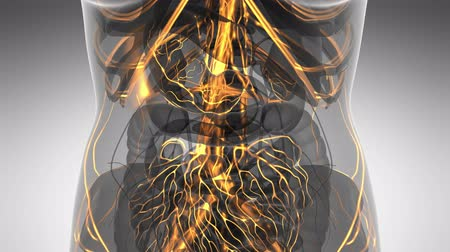 kaslar : science anatomy scan of woman heart and blood vessels glowing Stok Video