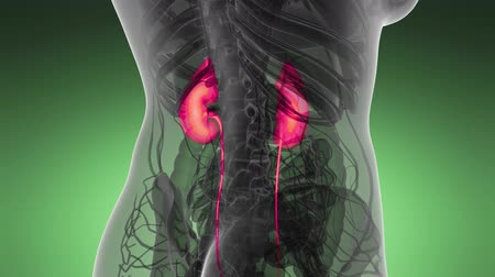 baarmoeder : Science Anatomy Scan of Human Kidneys Glowing
