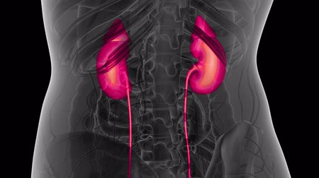 prostata : Science Anatomy Scan Of Human Kidneys Glowing