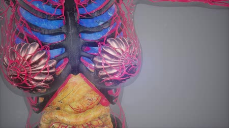 human heart : human body model illustration