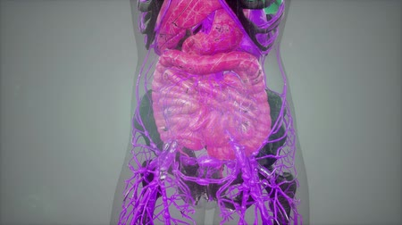costelas : human anatomy illustration with all organs