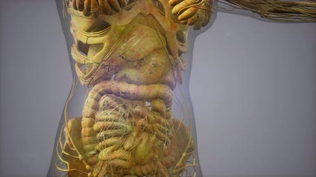почки : model showing anatomy of human body illustration