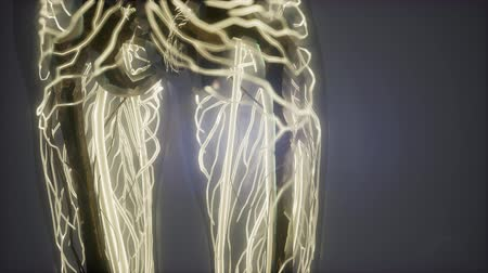почки : science anatomy scan of woman heart and blood vessels glowing Стоковые видеозаписи