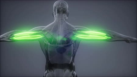 forte : triceps - Visible muscle anatomy map Stock Footage