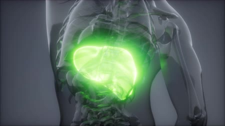 lef : Human Liver Radiology-examen Stockvideo