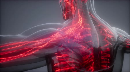 blood circulation : Blood Vessels of Human Body