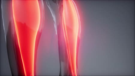 cartilage : gastrocnemius- Visible muscle anatomy map Stock Footage