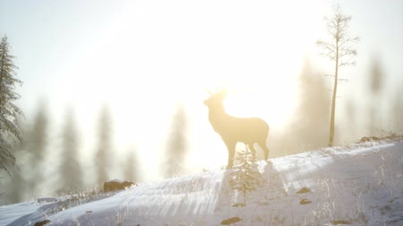 selektif : Proud Noble Deer Male in Winter Snow Forest Stok Video