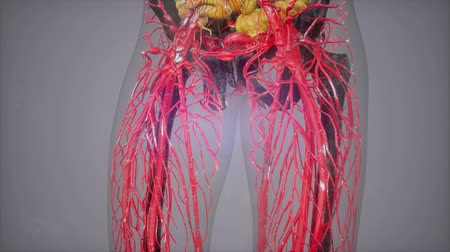 fyziologie : human anatomy illustration with all organs