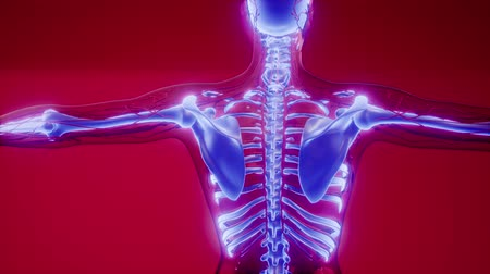 backbone : Transparent Human Body with Visible Bones