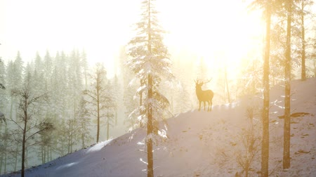 cervus elaphus : Proud Noble Deer Male in Winter Snow Forest Stock Footage