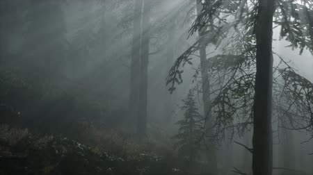 donker : Coniferous Forest Backlit by the Fising Sun on a misty