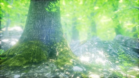 de faia : Sunbeams Shining through Natural Forest of Beech Trees