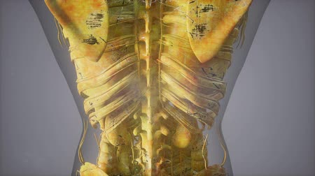 リブ : Complete close-up view of the Skeletal System with transparent body