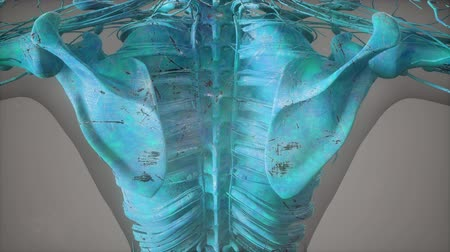 fyziologie : Complete close-up view of the Skeletal System with transparent body
