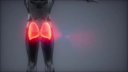 штамм : gluteus maximus - leg muscles anatomy animation