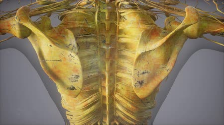 obratel : Complete close-up view of the Skeletal System with transparent body