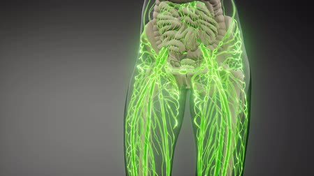 material body : Blood Vessels of Human Body