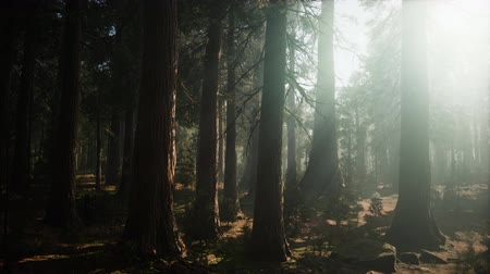 sierra nevada : Giant Sequoia Trees at summertime in Sequoia National Park, California Stock Footage