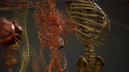csontváz : Animated 3D human anatomy illustration Stock mozgókép