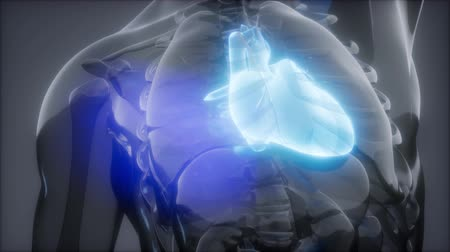 material body : Human Heart Radiology Exam