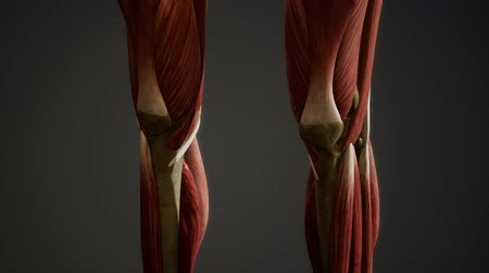 скелетный : Muscular System of human body animation Стоковые видеозаписи