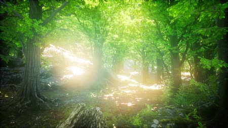 de faia : Forest of Beech Trees illuminated by Sunbeams