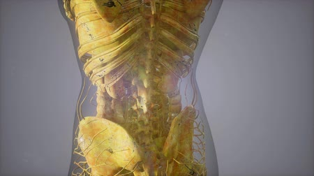 fisiologia : Complete close-up view of the Skeletal System with transparent body