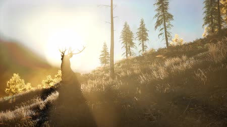 hind : Deer Male in Forest at Sunset