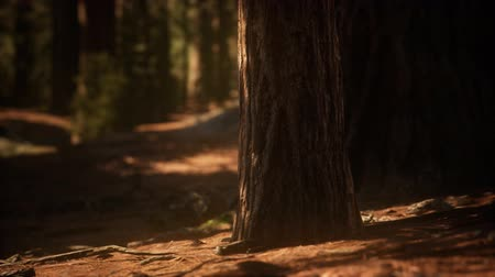 sierra nevada : Early morning sunlight in the Sequoias of Mariposa Grove