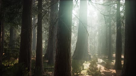 樹皮 : Sunrise in the Sequoias, General Grant Grove, Sequoia National Park