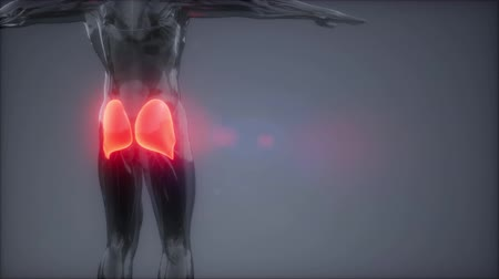 cartilage : gluteus maximus - leg muscles anatomy animation