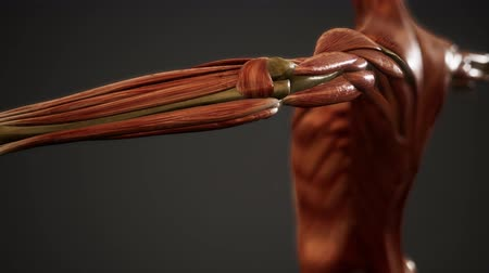 esquelético : Muscular System of human body animation Stock Footage