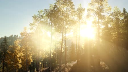 serenidade : Sun Shining Through Pine Trees in Mountain Forest