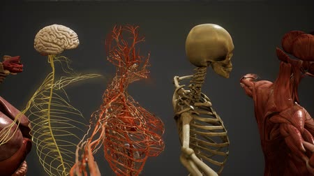 costela : Animated 3D human anatomy illustration Stock Footage