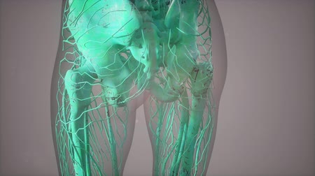 pelvi : Complete close-up view of the Skeletal System with transparent body