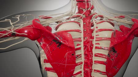 lung : Transparent Human Body with Visible Bones