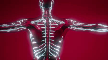 rendes : Blood Vessels of Human Body