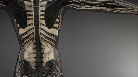 medical scan : Transparent Human Body with Visible Bones
