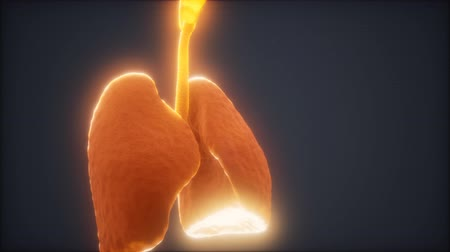 human heart : 3d animation of human lungs